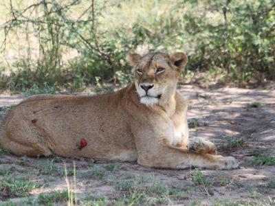 lions uganda travel guide